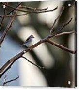 A Chipping Sparrow Acrylic Print