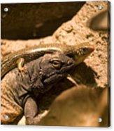 A Chuckwalla Lizard And A Skink Acrylic Print