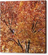 A Claret Ash Tree In Its Autumn Colors Acrylic Print