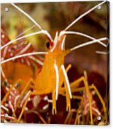 A Cleaner Shrimp Perches On An Exposed Acrylic Print