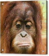 A Close Portrait Of A Sad Young Orangutan Acrylic Print