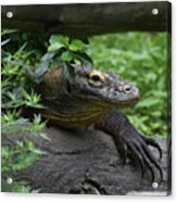 A Close Up Look At A Komodo Dragon Lizard Acrylic Print