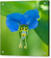 A Close-up Of A Bright Blue Flower Acrylic Print