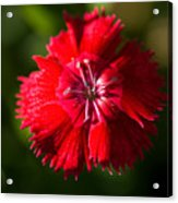 A Close Up Of A Dianthis Flower Acrylic Print