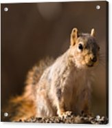 A Close-up Of A Fox Squirrel Sciurus Acrylic Print by Joel Sartore