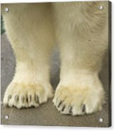 A Close-up Of A Juvenile Polar Bear Acrylic Print