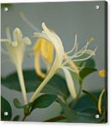 A Close Up Of Honeysuckle Acrylic Print