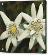 A Close View Of An Edelweiss Flower Acrylic Print
