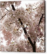 A Cloud Of Pastel Pink Cherry Blossoms Celebrating The Arrival Of Spring  Acrylic Print