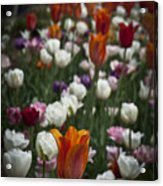 A Cluster Of Tulips Acrylic Print