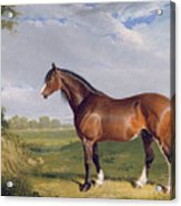 A Clydesdale Stallion Acrylic Print by John Frederick Herring Snr