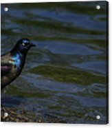 A Common Grackle Acrylic Print