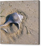 A Conch Shell Lies In The Sand Acrylic Print