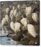 A Congregation Of Egrets Acrylic Print