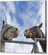 A Conversation Between Two Horses Acrylic Print