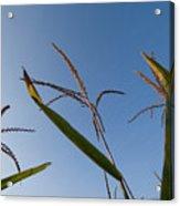 A Corn Field At The Historic Waveland Acrylic Print