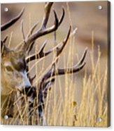 A Couple Of Bucks Acrylic Print