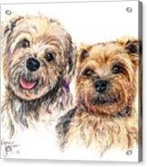 A Couple Of Yorkies Acrylic Print