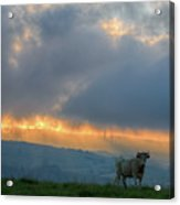 A Cow In The High Prairies  At Sunset Acrylic Print