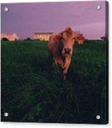 A Cow Walks Near Beachhouses Acrylic Print
