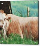 A Cow's Tale - Lazy Day Acrylic Print