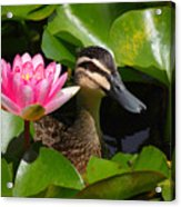 A Curious Duck And A Water Lily Acrylic Print