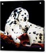 A Dalmatian Prince Acrylic Print