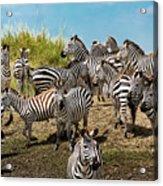 A Dazzle Of Zebras Acrylic Print