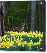 A Deer And Daffodils 4 Acrylic Print