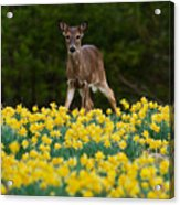 A Deer And Daffodils IIi Acrylic Print