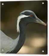 A Demoiselle Crane Anthropoides Virgo Acrylic Print by Joel Sartore