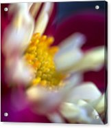 A Different Kind Of Dahlia Acrylic Print