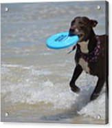 A Dog And Her Frisbee Acrylic Print