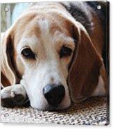 A Dog Thinking Acrylic Print