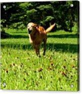 A Dogs Freedom Acrylic Print