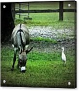 A Donkey And His Bird Acrylic Print