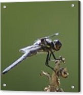 A Dragon Fly Contemplating  Acrylic Print