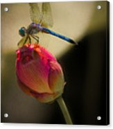 A Dragonfly Rests Momentarily On A Lotus Bud Acrylic Print