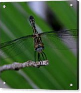 A Dragonfly Smile Acrylic Print