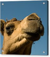 A Dromedary Camel At The Lincoln Acrylic Print