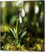 A Drop Of Spring Acrylic Print