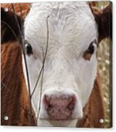 A Face You Can Love - Cow Art #609 Acrylic Print
