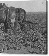 A Farmer Using A Cultivator  Acrylic Print