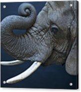 A Female African Elephant, Loxodonta Acrylic Print
