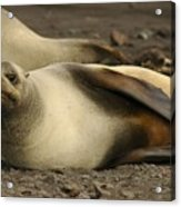 A Female Antarctic Fur Seal Sunning., By Noaa Acrylic Print