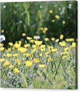 A Field Of Buttercups Acrylic Print