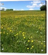 A Field Of Buttercups Acrylic Print