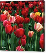 A Field Of Tulips Acrylic Print