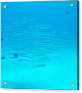 A Fish Shoal In Blue Water Acrylic Print