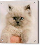 A Fistfull Of Kitten Acrylic Print